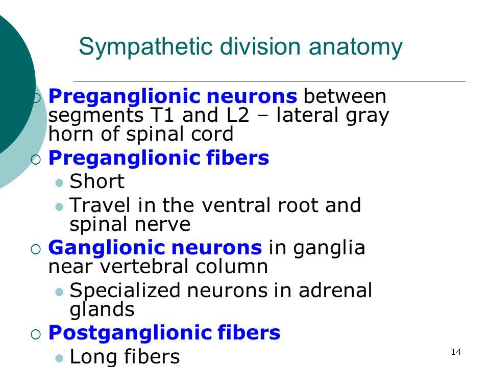 Sympathetic division anatomy