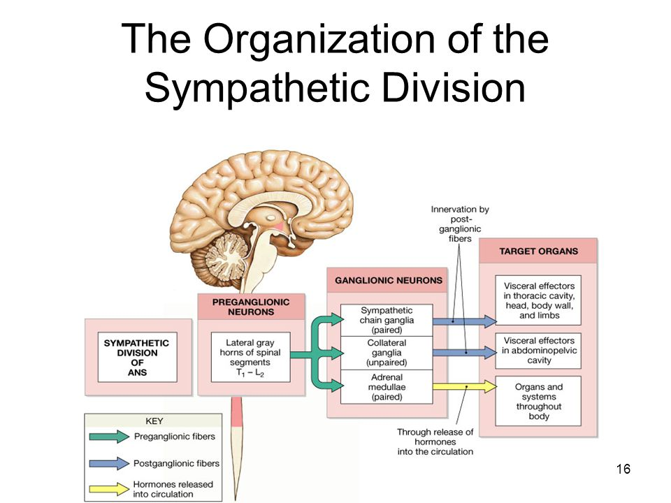 The Organization of the Sympathetic Division