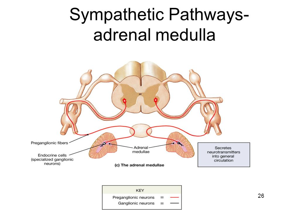 Sympathetic Pathways- adrenal medulla