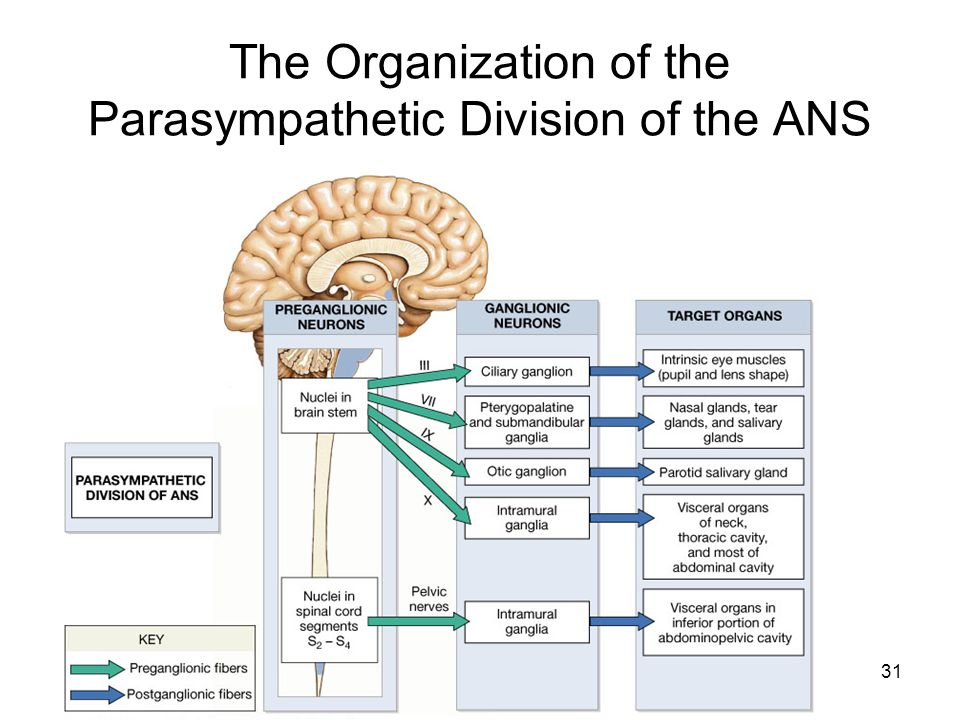 The Organization of the Parasympathetic Division of the ANS