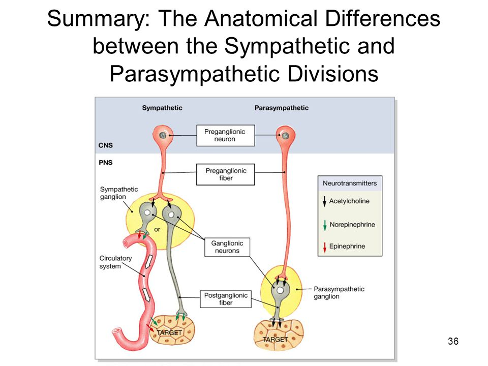 Summary: The Anatomical Differences between the Sympathetic and Parasympathetic Divisions