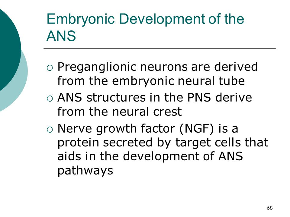 Embryonic Development of the ANS