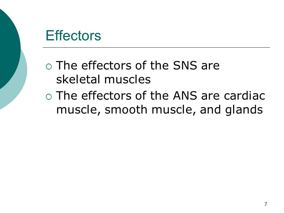Effectors The effectors of the SNS are skeletal muscles