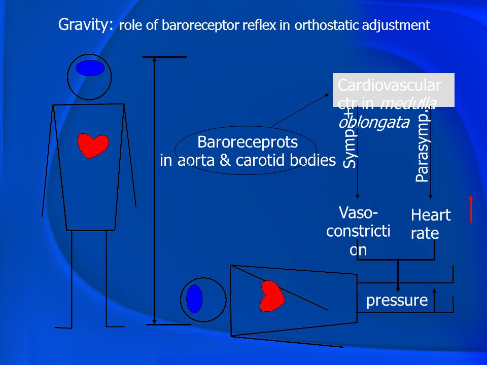 Gravity: role of baroreceptor reflex in orthostatic adjustment