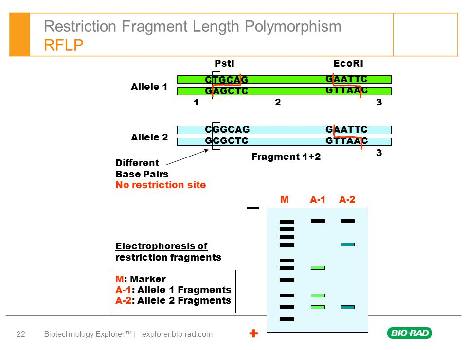 Restriction Fragment Length Polymorphism RFLP
