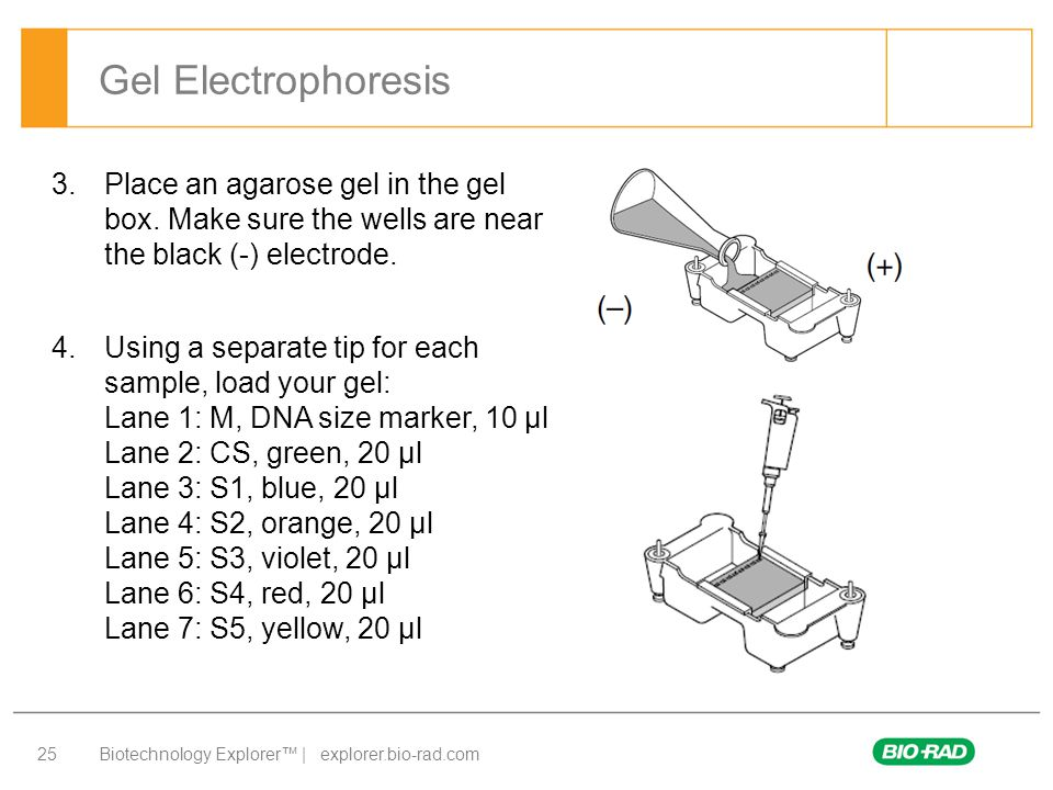 Gel Electrophoresis Place an agarose gel in the gel box. Make sure the wells are near the black (-) electrode.