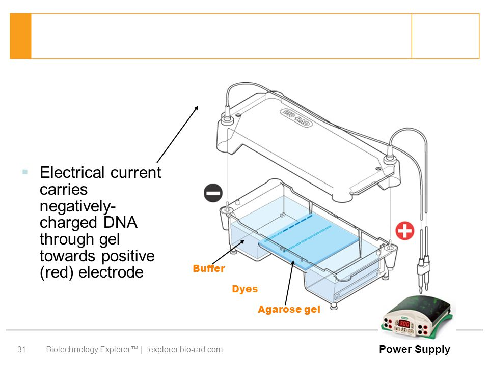 Electrical current carries negatively-charged DNA through gel towards positive (red) electrode