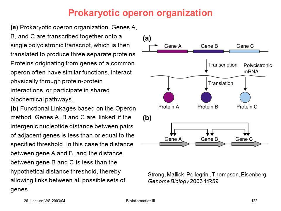 Prokaryotic operon organization