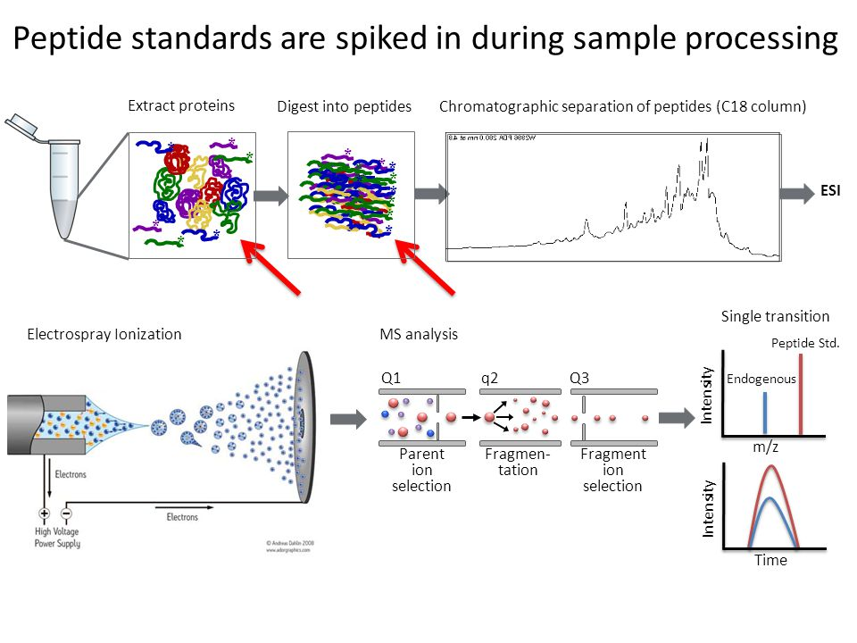 Peptide standards are spiked in during sample processing