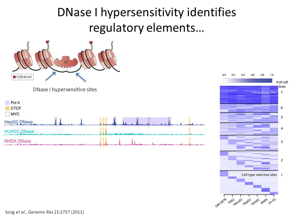 DNase I hypersensitivity identifies