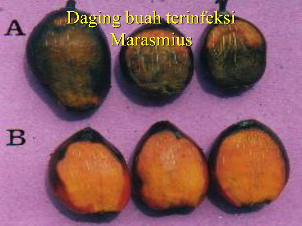 Daging buah terinfeksi Marasmius