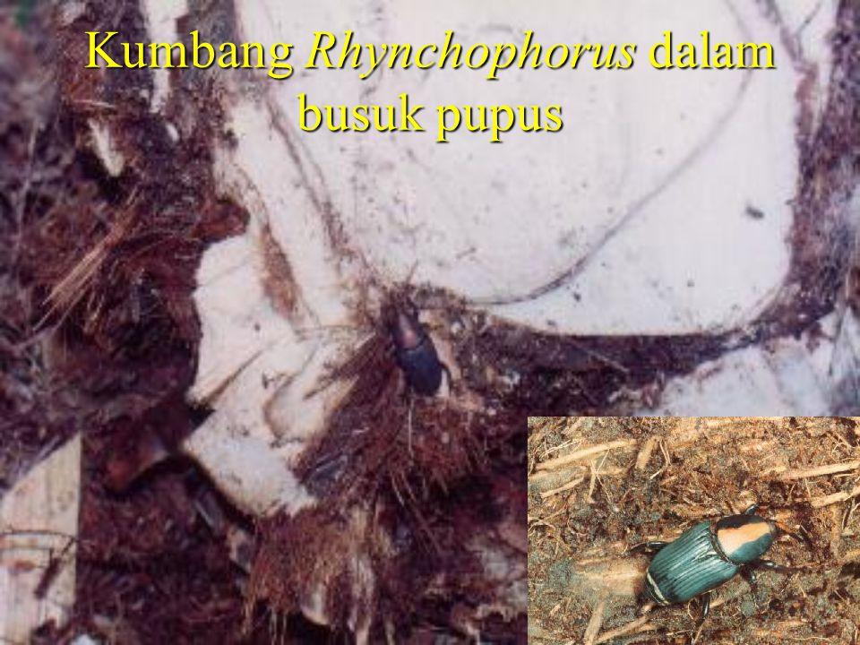 Kumbang Rhynchophorus dalam busuk pupus