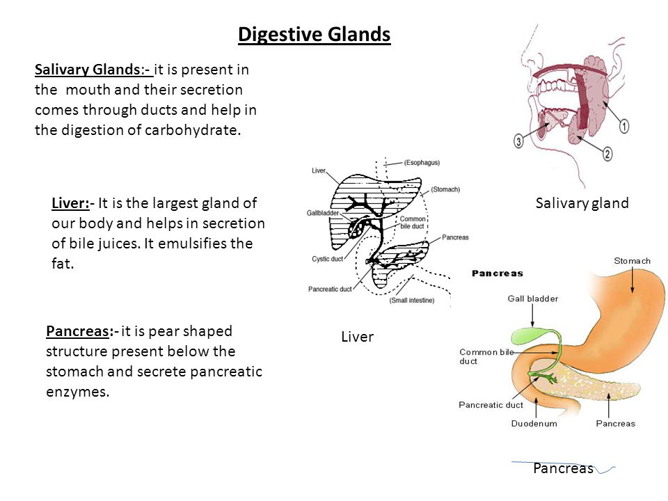 Digestive Glands Salivary Glands:- it is present in the mouth and their secretion comes through ducts and help in the digestion of carbohydrate.