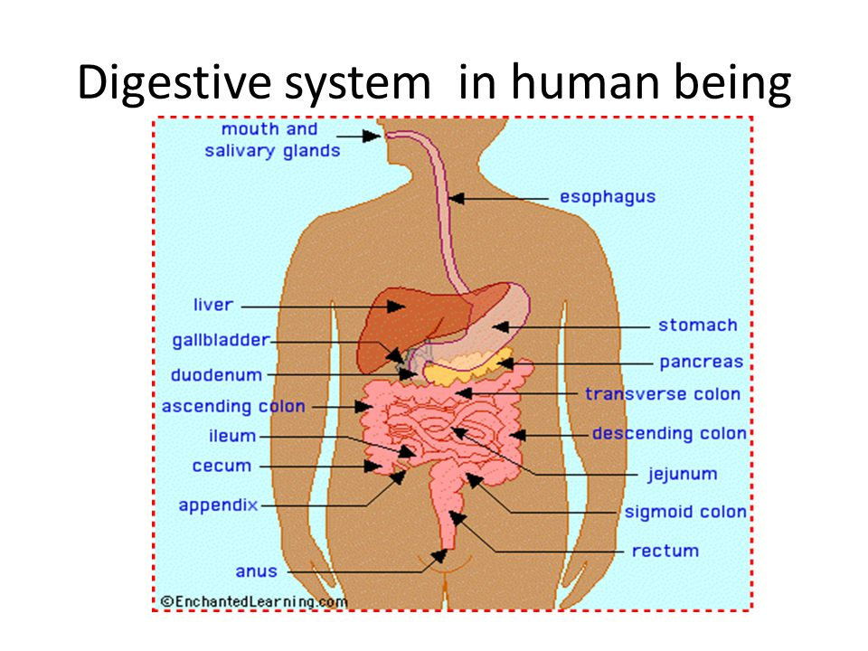 Digestive system in human being