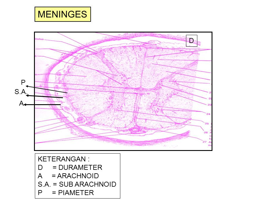 MENINGES D P S.A. A KETERANGAN : D = DURAMETER A = ARACHNOID