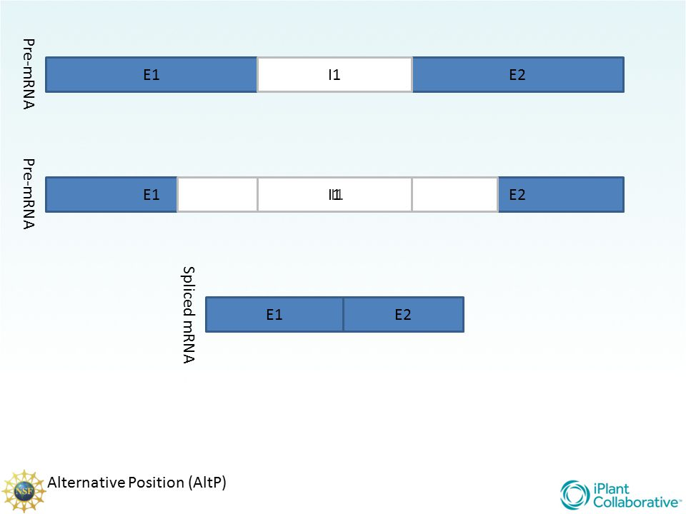 Pre-mRNA E1 I1 E2 Pre-mRNA E1 I1 I1 E2 Spliced mRNA E1 E2 Alternative Position (AltP)
