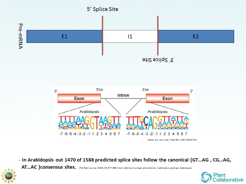 5' Splice Site Pre-mRNA E1 I1 E2 3' Splice Site
