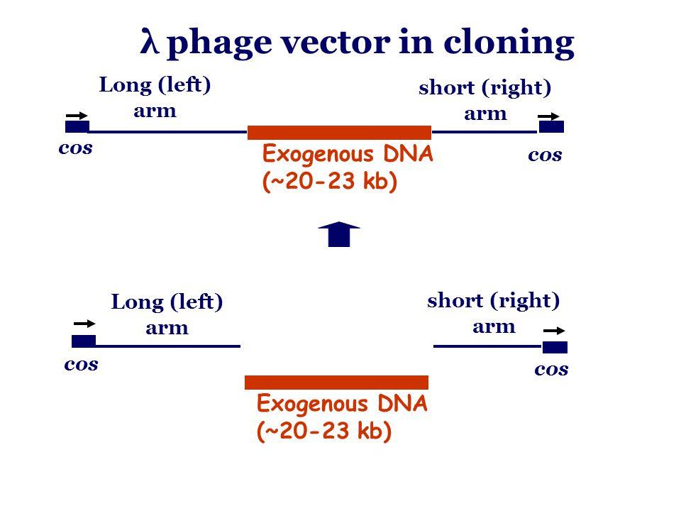 λ phage vector in cloning