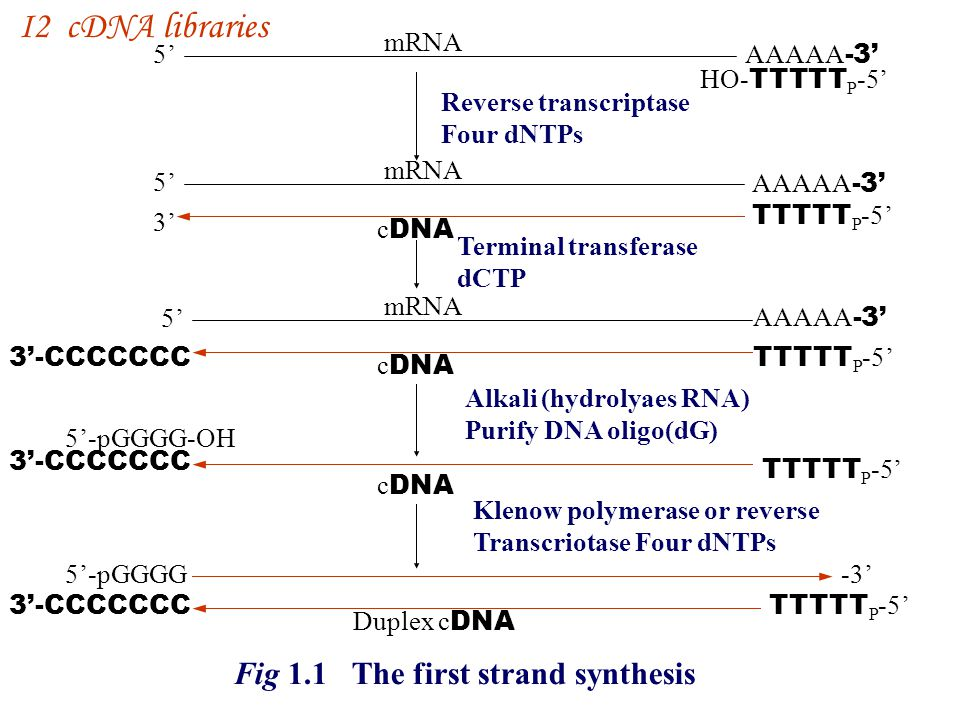 I2 cDNA libraries Fig 1.1 The first strand synthesis mRNA 5' AAAAA-3'