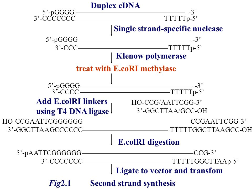 Single strand-specific nuclease