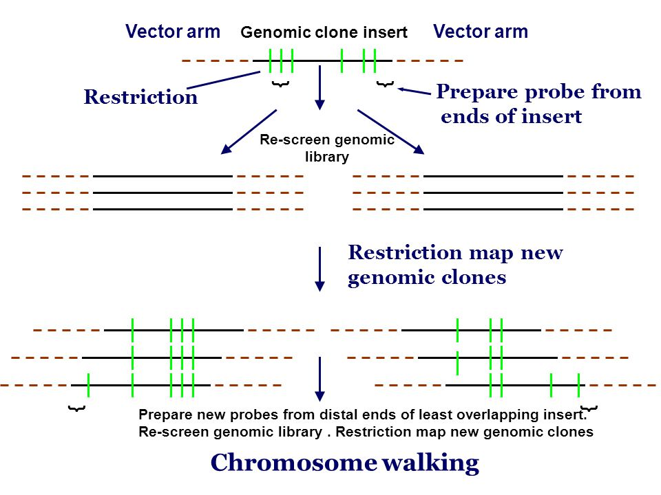 Chromosome walking Prepare probe from Restriction ends of insert