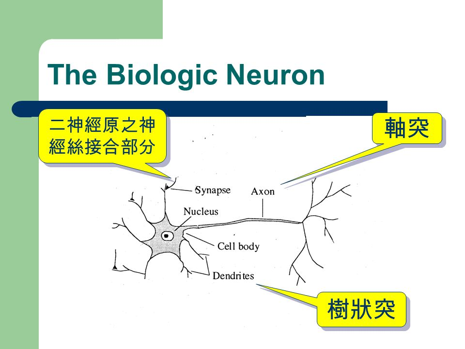 The Biologic Neuron 二神經原之神經絲接合部分 軸突 樹狀突