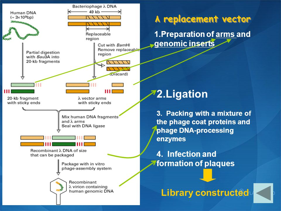 2.Ligation λ replacement vector Library constructed