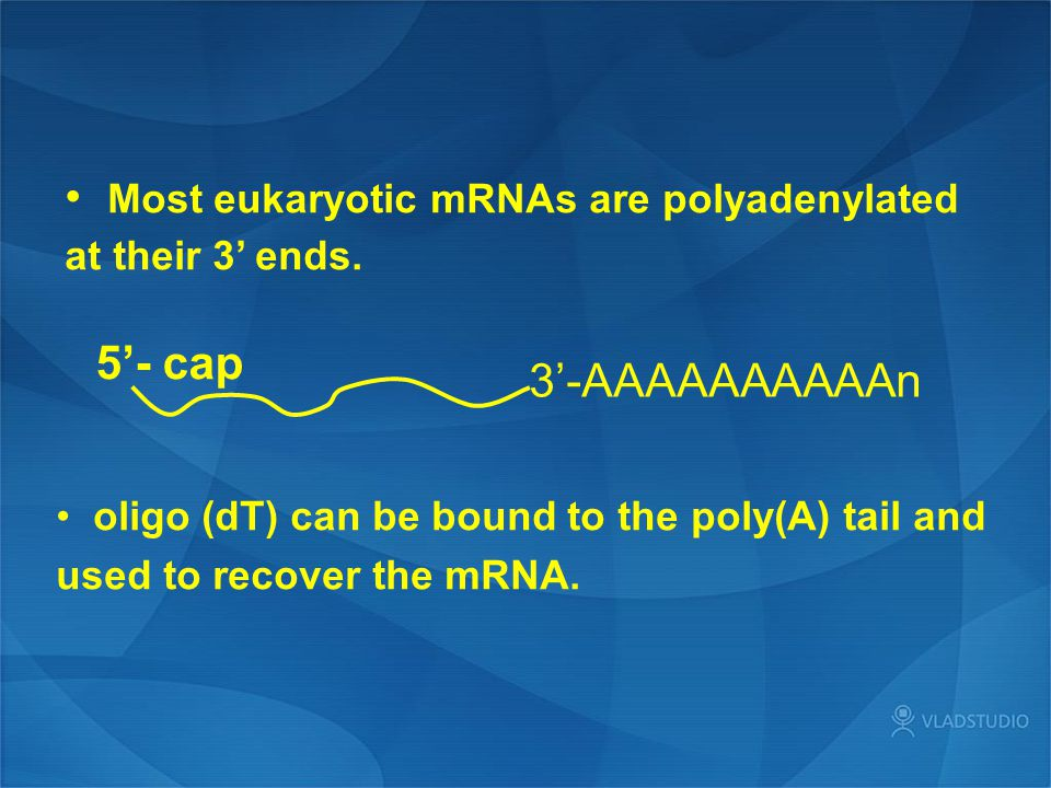 Most eukaryotic mRNAs are polyadenylated at their 3' ends.