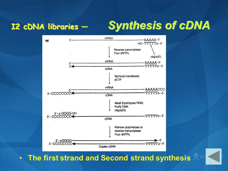I2 cDNA libraries — Synthesis of cDNA