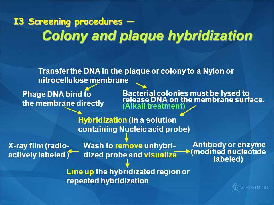 I3 Screening procedures — Colony and plaque hybridization