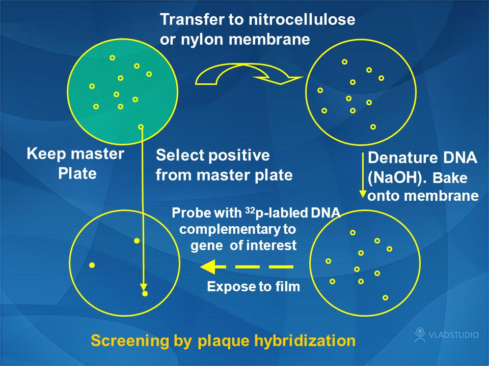 Transfer to nitrocellulose or nylon membrane