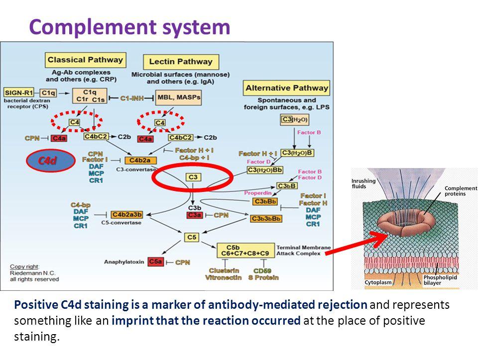 Complement system C4d.