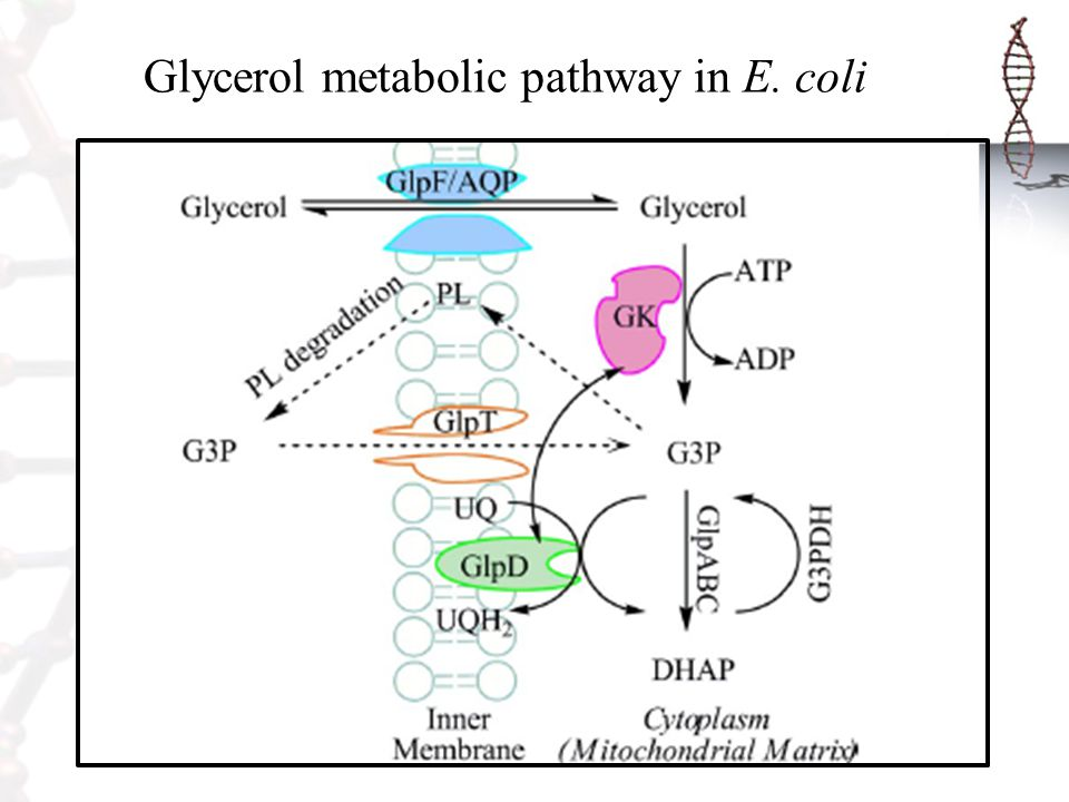Glycerol metabolic pathway in E. coli
