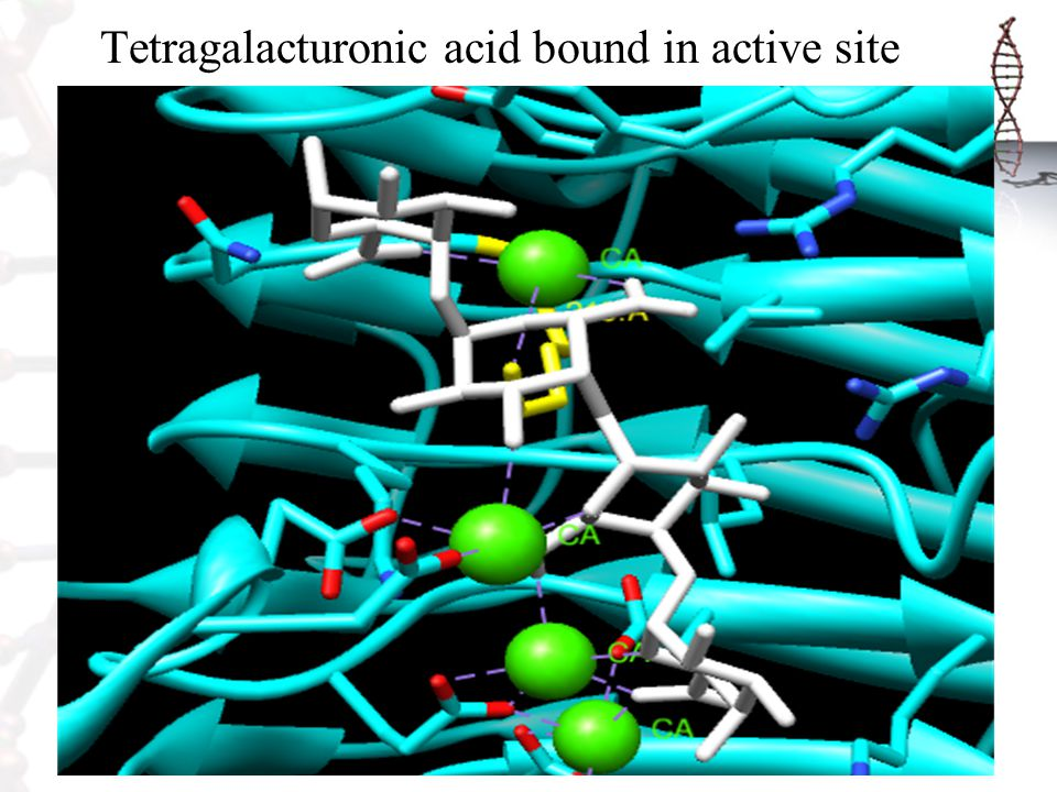 Tetragalacturonic acid bound in active site