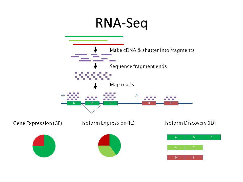 RNA-Seq Make cDNA & shatter into fragments Sequence fragment ends