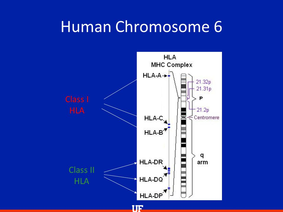 Human Chromosome 6 2 types of HLA Class I HLA Class II HLA