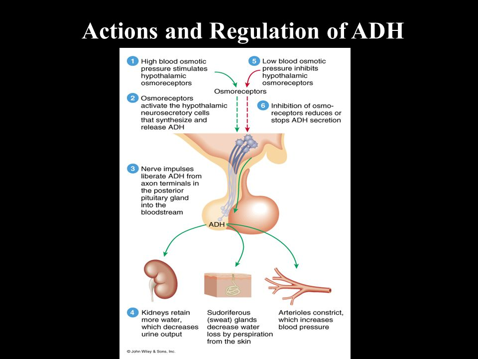 Actions and Regulation of ADH