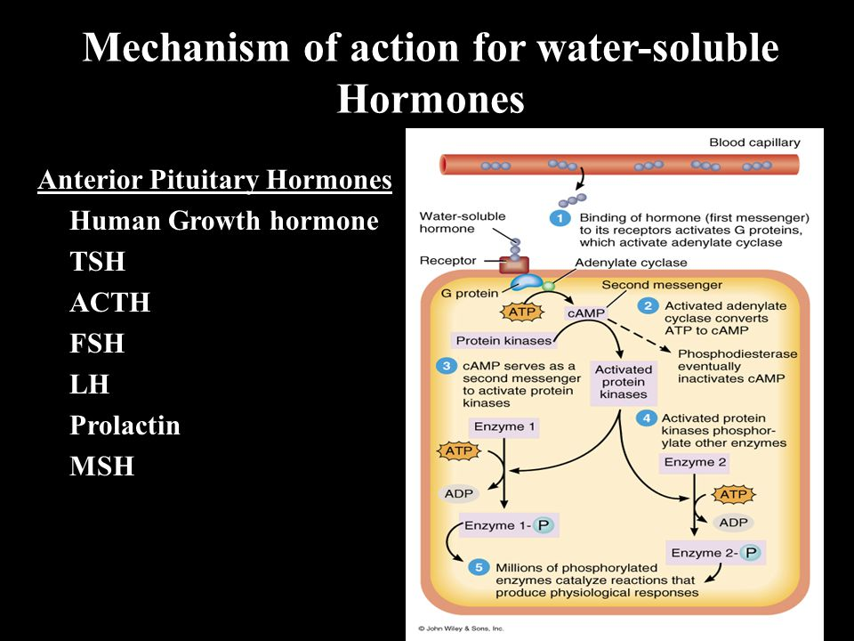 Mechanism of action for water-soluble Hormones