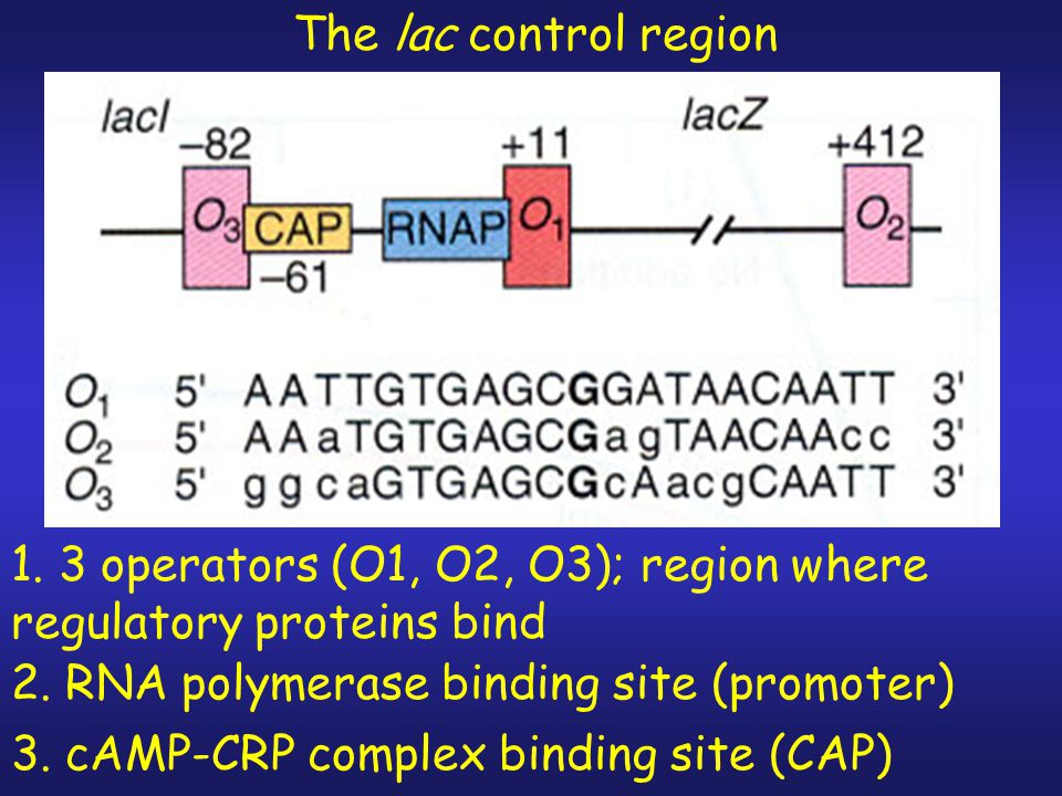 The lac control region 1. 3 operators (O1, O2, O3); region where regulatory proteins bind. 2. RNA polymerase binding site (promoter)
