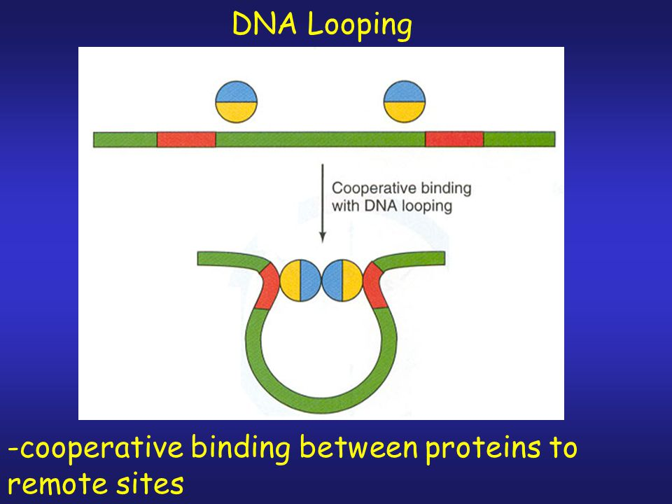 DNA Looping -cooperative binding between proteins to remote sites