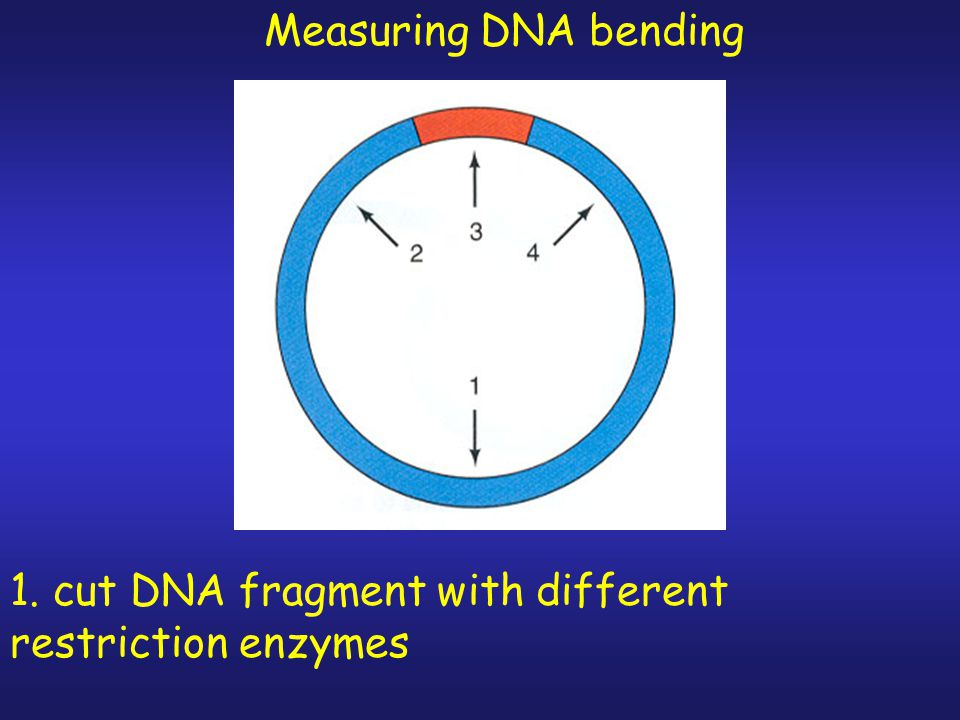 Measuring DNA bending 1. cut DNA fragment with different restriction enzymes
