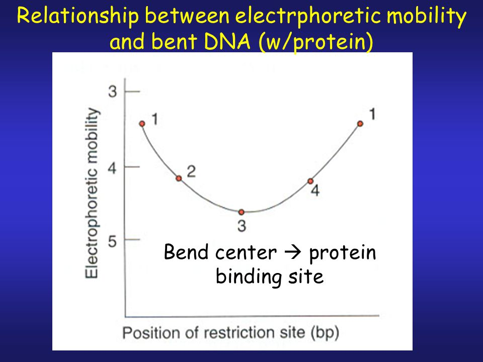 Relationship between electrphoretic mobility and bent DNA (w/protein)