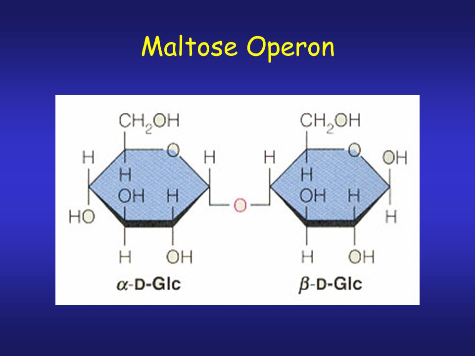 Maltose Operon