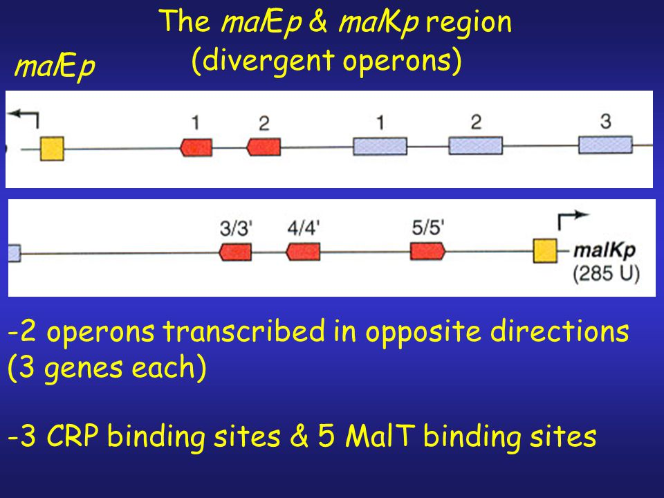 The malEp & malKp region