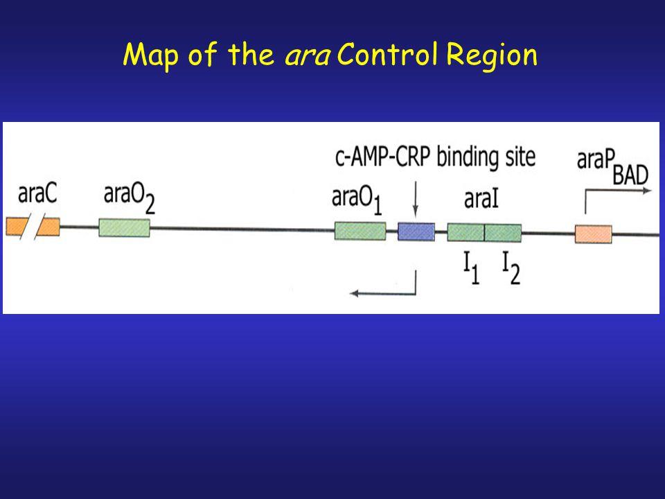 Map of the ara Control Region