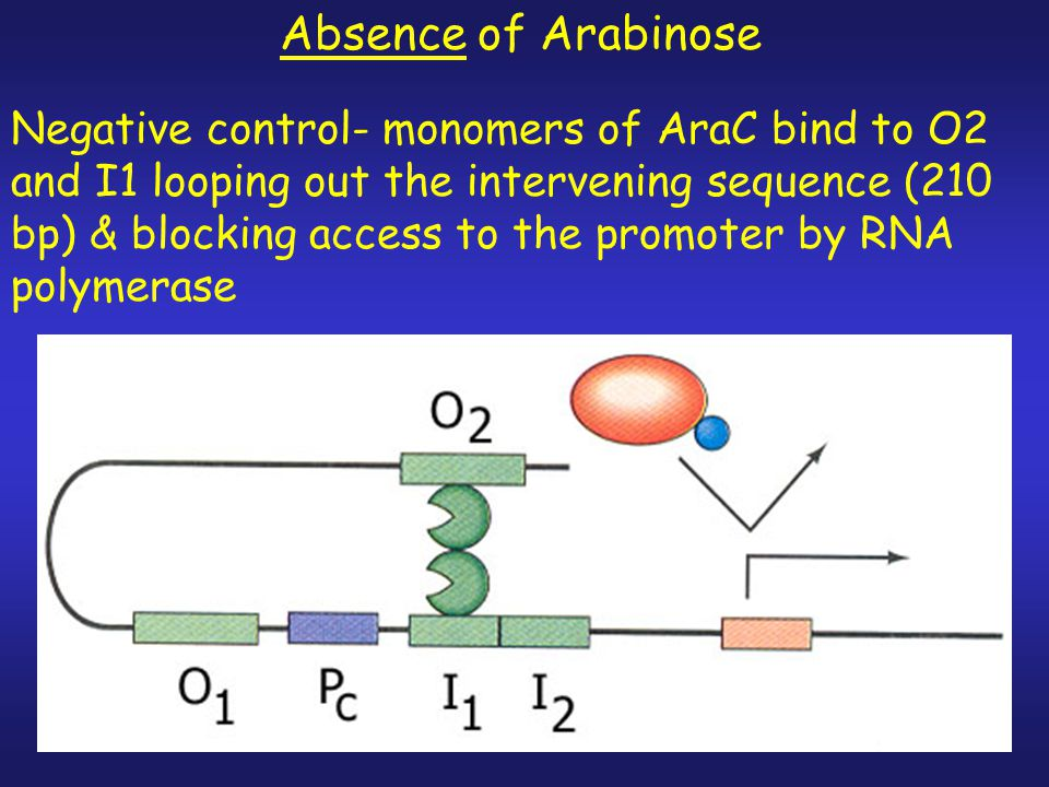 Absence of Arabinose