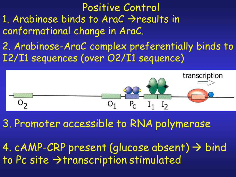 3. Promoter accessible to RNA polymerase