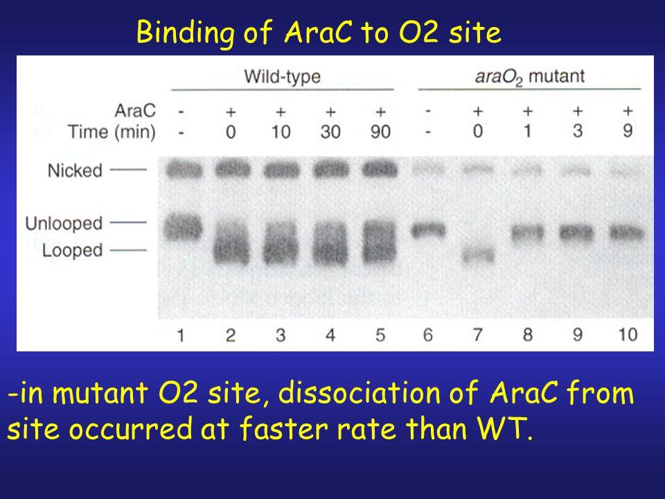 Binding of AraC to O2 site
