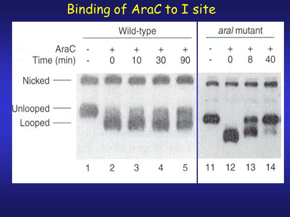 Binding of AraC to I site