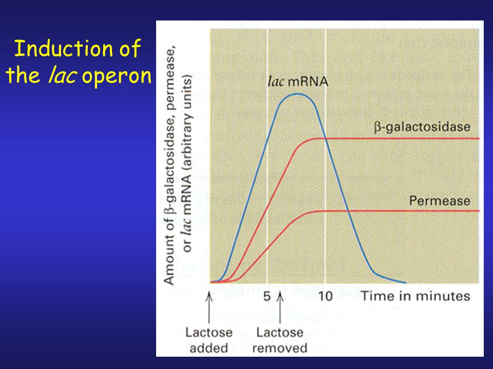 Induction of the lac operon
